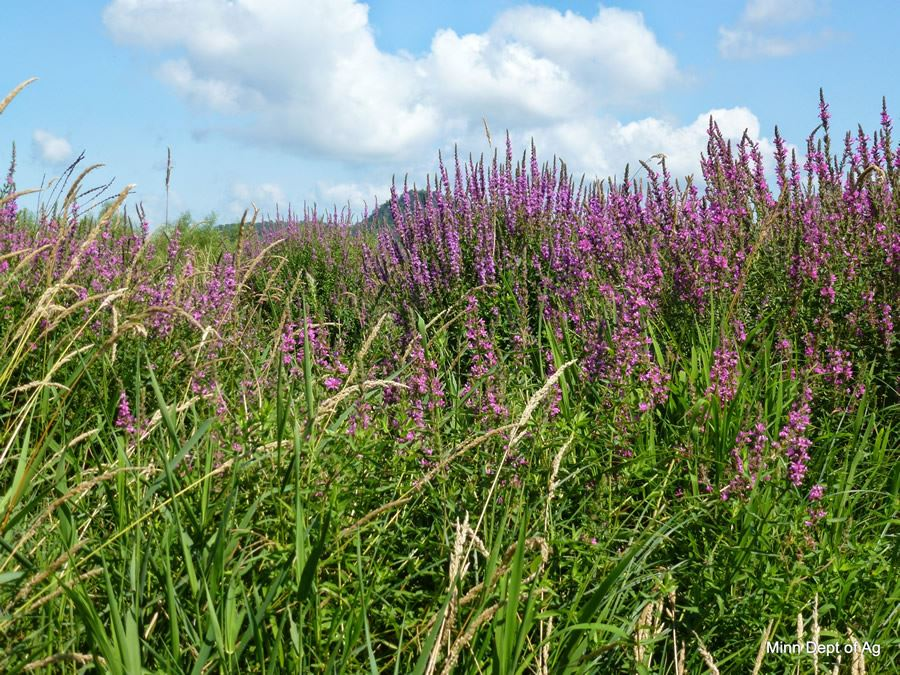 Purple Loosestrife Invasive Weed: Photo from MDA